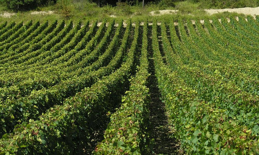 les activités au camping de Châtillon-sur-Seine : visites du vignoble du châtillonnais